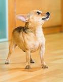 Moskou Toy Terrier Stock Afbeeldingen