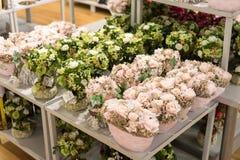 MOSKVA RYSSLAND - 24 09 2015 Inre av shoppar Hoff - en av det största ryska möblemangnätverket Konstgjorda blommor för december Royaltyfria Foton