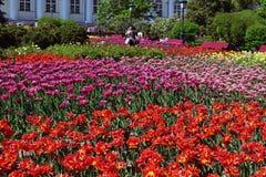 Moskva Ryssland - Maj 12 2018 stor blomsterrabatt med tulpan i Alexander Garden Royaltyfri Fotografi