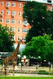 Moskwa ROSJA, CZERWIEC, - 21: Żyrafa przy zoo w na wolnym powietrzu na Czerwu 21, 2014 Fotografia Stock