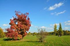 Moskwa, Złota jesień drzewo z czerwonymi liśćmi Obrazy Stock