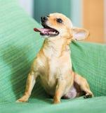 Moskwa Zabawkarski Terrier Fotografia Royalty Free