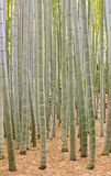 Moso Bamboo Forest in Kamakura Japan Stock Photo
