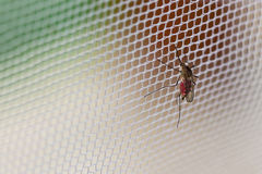 Free Mosquito Royalty Free Stock Images - 14353709