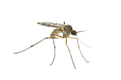 Mosquito Royalty Free Stock Images