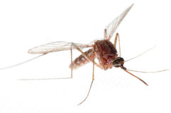 Mosquito Royalty Free Stock Photos