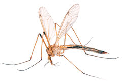 Mosquito. Royalty Free Stock Images