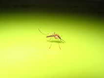 Mosquito. A mosquito, very common in summer Royalty Free Stock Images
