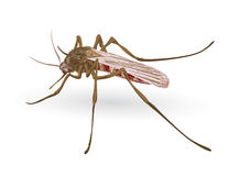 Mosquito. Royalty Free Stock Image