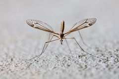 Mosquito Fotos de Stock Royalty Free