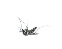 Free Mosquito Royalty Free Stock Images - 33330479