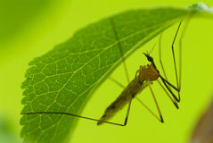 Mosquito. Bug hanging underside of leaf Royalty Free Stock Image