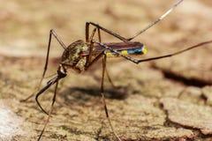 mosquito Imágenes de archivo libres de regalías
