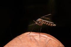 mosquito Imagens de Stock