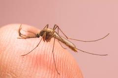 mosquito Fotos de archivo