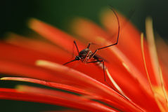 Mosquito. Sitting on red flower Stock Photo