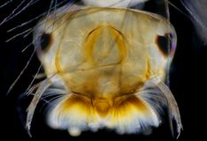 Mosquito (Aedes) larva head Stock Photos