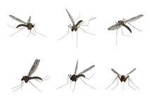 Mosquito, aislado en el fondo blanco Fotografía de archivo libre de regalías