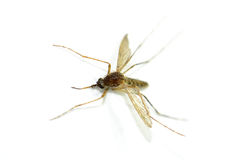 Mosquito aislado en el fondo blanco fotos de archivo
