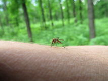 A mosquito on arm Royalty Free Stock Photo