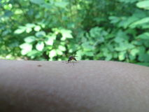 A mosquito on arm Royalty Free Stock Image