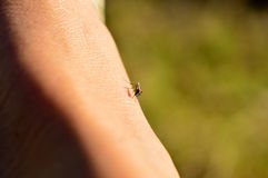 Mosquito Bite Stock Images