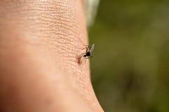 Mosquito Bite Royalty Free Stock Photo