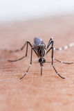 Mosquito biting royalty free stock photography
