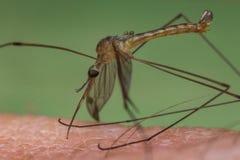 Mosquito Biting Skin Stock Photo