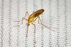 Mosquito bitten through fabric and sucks blood Royalty Free Stock Photography