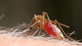 Mosquito blood sucking on human skin stock video footage