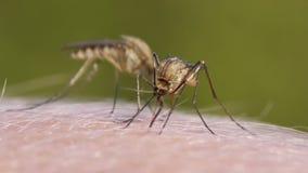 Mosquito blood sucking on human skin stock video