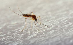 Mosquito Royalty Free Stock Photo