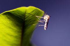 Mosquito and blue sky Royalty Free Stock Photography
