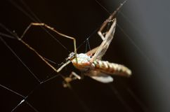 Mosquito in web Stock Image