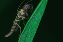 Mosquito close up. Royalty Free Stock Photography