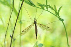 Mosquito. The close-up of a large mosquito. Scientific name: Tipula Pterelachisus sp Stock Photos
