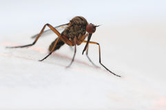 Mosquito. Close up picture of mosquito stock images