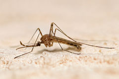 Mosquito closeup Royalty Free Stock Photography