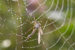 Mosquito in cobweb Stock Images