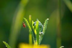 Mosquito com o sangue que descansa na grama imagem de stock royalty free