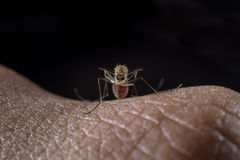 Mosquito come in Royalty Free Stock Photos