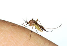 Mosquito (Culex) biting a human finger Stock Images