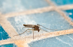 Mosquito (Culex pipiens) Stock Photography