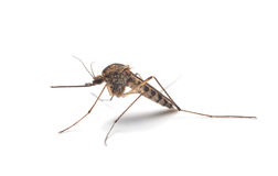 Mosquito (Culex pipiens) profile Royalty Free Stock Photos