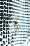 Mosquito (Culex pipiens) sitting Stock Images