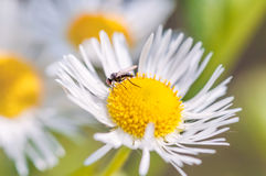 Mosquito on Daisy Royalty Free Stock Photography