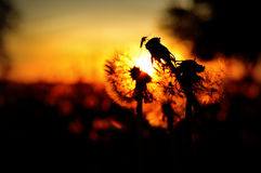 Mosquito on Dandelion Seed Heads Silhouette. A silhouette of a mosquito sitting on top of some dandelion seed heads in front of a glowing sunset in Lake Geneva Stock Photos