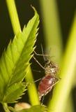 Mosquito de Fed imagens de stock royalty free