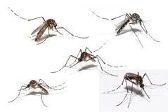 Mosquito de la dengue imágenes de archivo libres de regalías